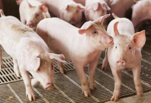今年首批中央储备冻猪肉7日公开竞价收储 业内:猪价见底预期升温(图1)